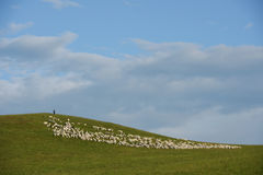 Herdman and sheep. A herdman stood on the top of a hill with his herd royalty free stock photography