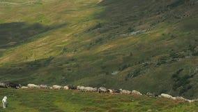 Herdmen che determina una moltitudine di pecore si scola le colline verdi Cane che custodice un gregge delle pecore Pascolo della archivi video