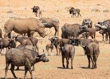 White Rhino, Buffalo and Wildebeest. Herds of animals gathering at a watering hole in Southern African savanna royalty free stock photography