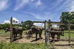 Herds of asian water buffalo in countryside. Over blue sky background at sunny day Stock Photos