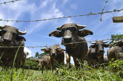 Herds of asian water buffalo in countryside over blue sky background. At sunny day.selective focus shot Stock Images