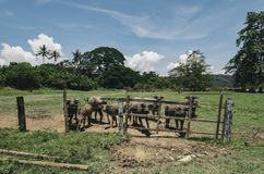 Herds of asian water buffalo in countryside over blue sky background. At sunny day Stock Photos
