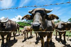 Herds of asian water buffalo in countryside over blue sky background at sunny day. Selective focus shot Royalty Free Stock Photo
