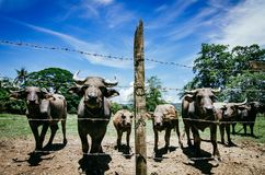 Herds of asian water buffalo in countryside over blue sky background. At sunny day.selective focus shot Royalty Free Stock Photography