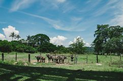 Herds of asian water buffalo in countryside over blue sky background at sunny day. Selective focus shot Royalty Free Stock Image