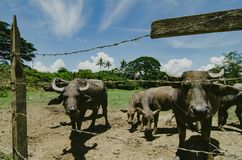 Herds of asian water buffalo in countryside over blue sky background. At sunny day.selective focus shot Royalty Free Stock Photos