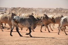 Cows heading to Market in Khartoum royalty free stock photo