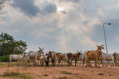 Herds in countryside Stock Image