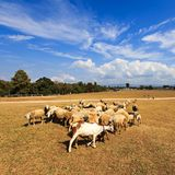 Herds cow. On  Meadow at doi inthanon from Chiangmai Thailand Royalty Free Stock Images