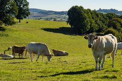 Herds of cows in the meadow in Gaume stock photo