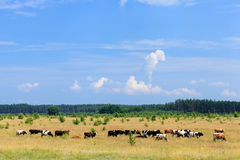 Herds of cows Royalty Free Stock Image