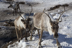Herds of deer in the snow. Moma Mountains. Yakutia. Russia Royalty Free Stock Photo
