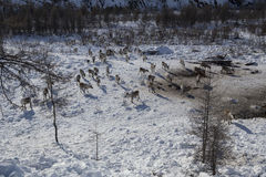 Herds of deer in the snow. Moma Mountains. Yakutia. Russia Stock Photos