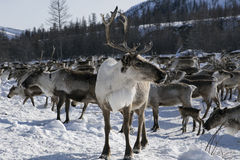 Herds of deer in the snow. Moma Mountains. Yakutia. Russia Royalty Free Stock Photography