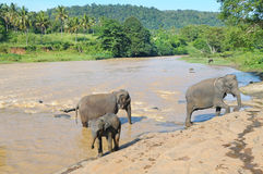 Herds of elephants. Bathing in the river Royalty Free Stock Photos