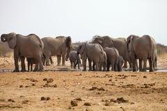 Herds of elephants with cubs are pushing at the waterhole, Etosha, Namibia Royalty Free Stock Photo