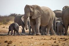 Herds of elephants with cubs are pushing at the waterhole, Etosha, Namibia Stock Photo