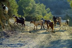 Herds of goats roam the mixed deciduous and coniferous forest in the Troodos Mountains of Cyprus. View a small herd of goats foraging the lower slopes of the royalty free stock images