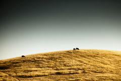 Herds on golden hill Royalty Free Stock Photos