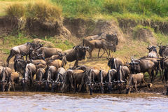 Herds of herbivores on the shores of the Mara River. Kenya, Africa Royalty Free Stock Images