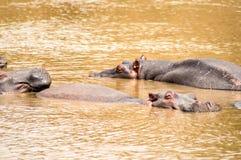Herds of hippopotamuses in the Mara River of Masai Mara Park in. North West Kenya royalty free stock image