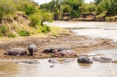 Herds of hippopotamuses in the Mara River of Masai Mara Park in. North West Kenya royalty free stock photography