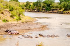 Herds of hippopotamuses in the Mara River of Masai Mara Park in. North West Kenya royalty free stock images