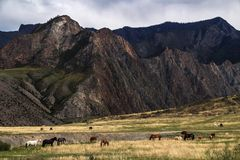 Herds of horses and cows grazing in highlands. Somewhere deep within Altai mountains, Russia Stock Images