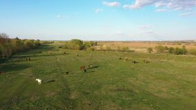 Herds horses graze and have a rest on a green meadow in warm spring day. Life in the village. Aerial drone 4K