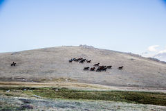 Herds near Song Kol Stock Image