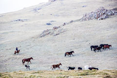 Herds near Song Kol. Kirghistan mountains Stock Images