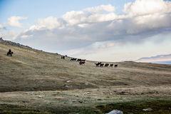 Herds near Song Kol. Kirghistan mountains Stock Photo