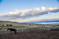 Herds near Song Kol. Kirghistan mountains Stock Photography