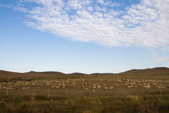 Herds on the prairie. Herds on the Horqin prairie in Inner Mongolia, China Stock Images
