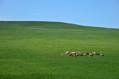 Herds on the prairie Royalty Free Stock Photography
