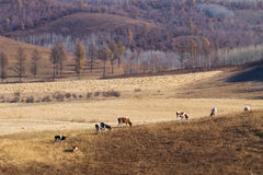 Herds on the prairie. At Zhalantun, Inner Mongolia, China Royalty Free Stock Images