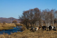 Herds on the river bank. At Zhalantun, Inner Mongolia, China Royalty Free Stock Photos