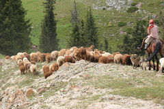 Herds of sheep in countryside. Xinjiang,china Stock Images