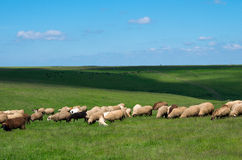 Herds of sheep and cows. Royalty Free Stock Photography