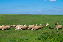 Herds of sheep and cows. Royalty Free Stock Images
