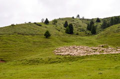 Herds of sheep in a green meadow Royalty Free Stock Photo