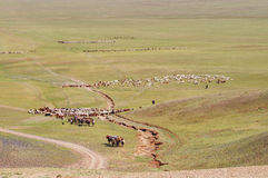 Herds of sheep migrate in Mongolia Royalty Free Stock Photography