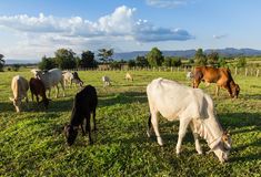 Herds Thai Cows eating grass Stock Images