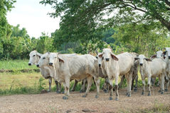Herds Stock Images
