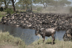 Herds of wildebeest Royalty Free Stock Image