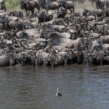 Herds of wildebeest Royalty Free Stock Photos