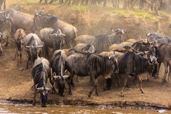 Herds of Wildebeest on the banks of the Mara River. Africa Stock Image