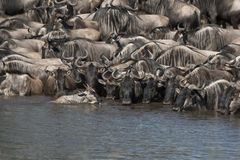 Herds of wildebeest at the Serengeti Royalty Free Stock Photo