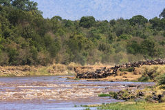 Herds of wildebeest on the shores of the Mara River. Kenya, Africa. Herds of wildebeest on the shores of the Mara River. Kenya Stock Image