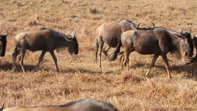 Herds of wildebeests in Ngorongoro